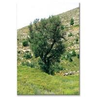 עץ מדגמן