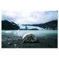 זאב, אלסקה