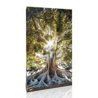 עץ פיקוס עתיק