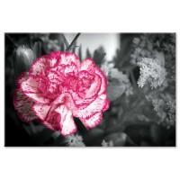 ורד לבן ורוד