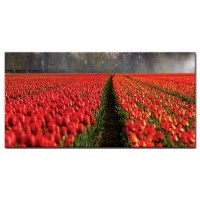 מרבדי צבעונים, הולנד